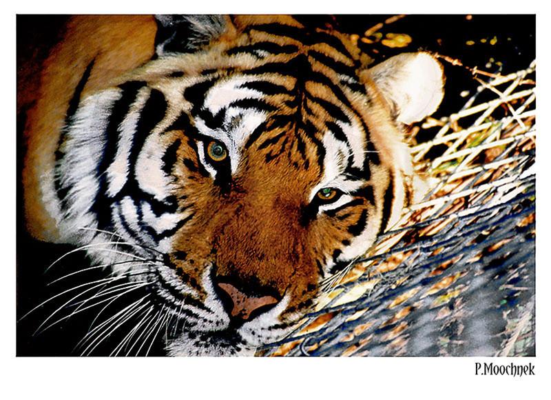Bengaltigernik1000k.jpg