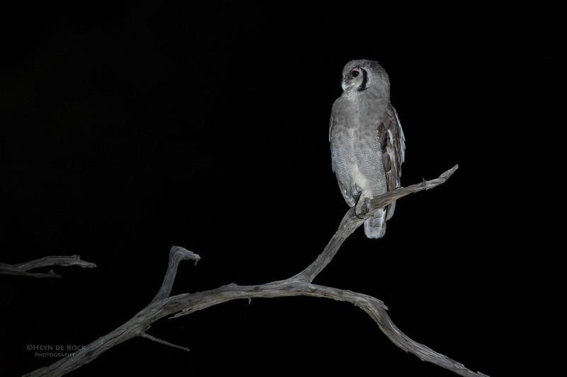 Verreaux's Eagle Owl, Khwai River Concession, Botswana, May 2017-4.jpg