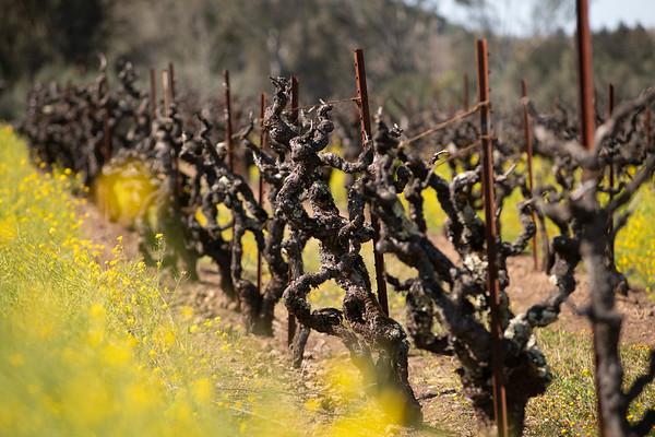 Zin Vineyards March 23, 2021