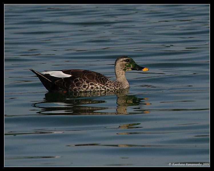 Spot-billed Duck, Kukkarahalli Lake, Mysore, Karnataka, India, June 2009