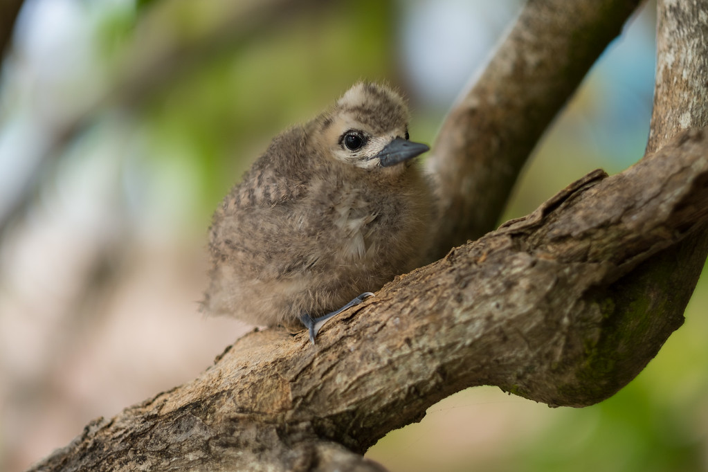 Baby Birds on Cousin Island in the Seychelles