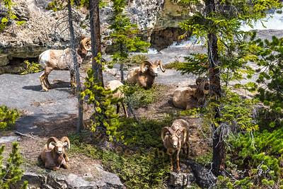 2019 Wildlife in Banff and Jasper Natl Park