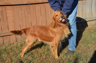 20131107 Duke - 8yr old Golden Retriever HW positive