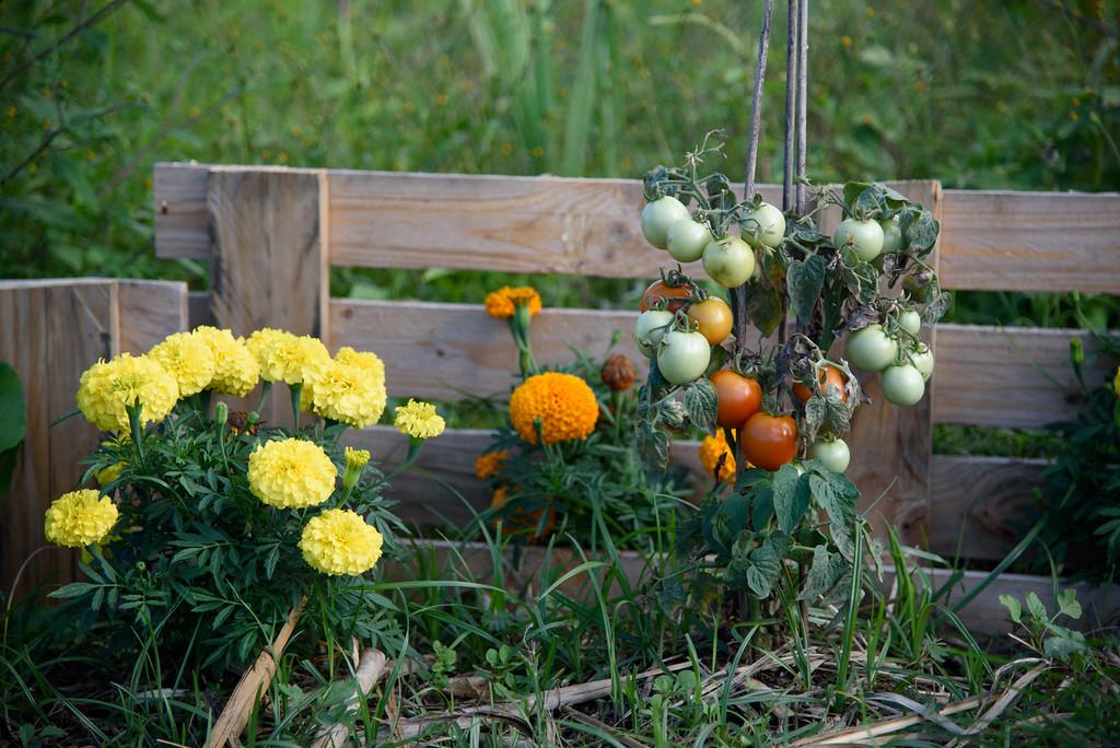 Plant de tomate à la Réunion
