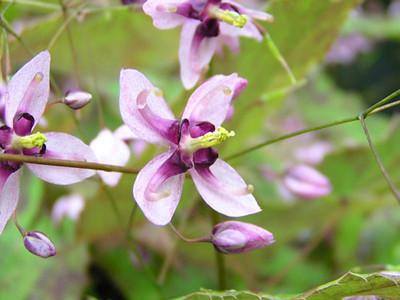Epimedium 'Kaguyahime' close-up