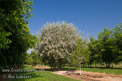 Velvet Touch™ Russian Olive - Elaeagnus angustifolia 'Cooke's'