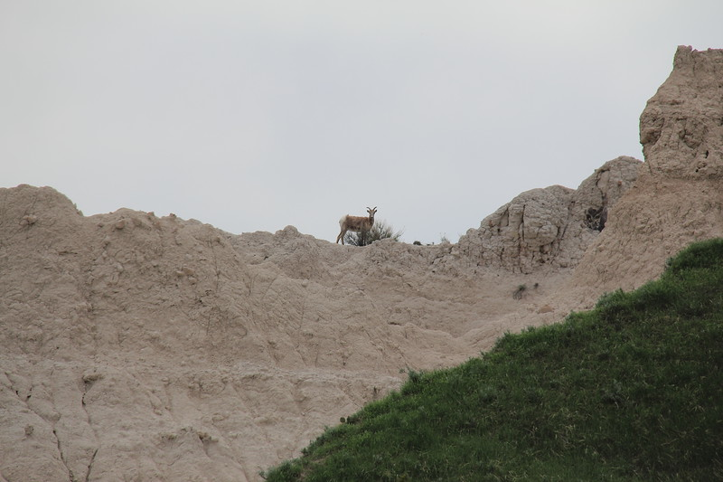 20140523-167-BadlandsNP-MountainGoats.JPG