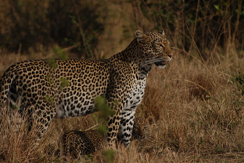 009_6672 Leopard with cub.jpg