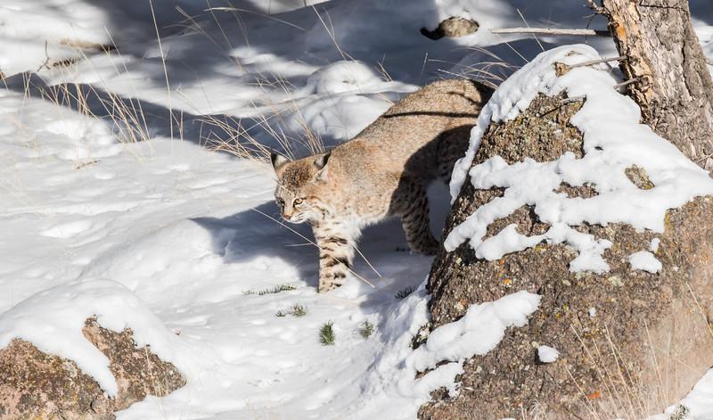 Bobcat stealth approach.jpg