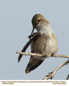 Rufous Hummingbird F29404.jpg