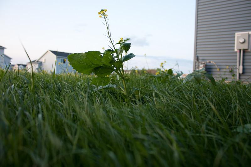Weeds taller than grass