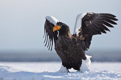 Eagles & Vultures Örnar & gamar