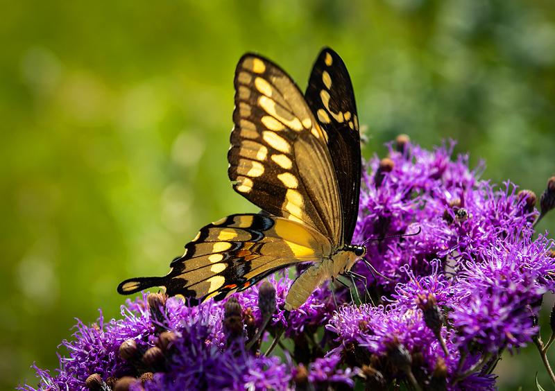 Indra Swallowtail Butterfly 20170731-3683.jpg