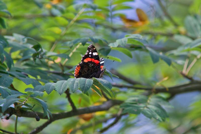 Atalanta in a Rowan Tree