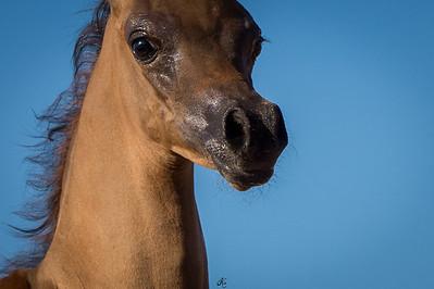 GRK Arabians
