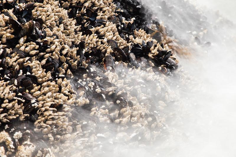 Goose barnacles (Pollicipes polymerus) and California mussel (Mytilus californianus), Vancouver Island, British Columbia
