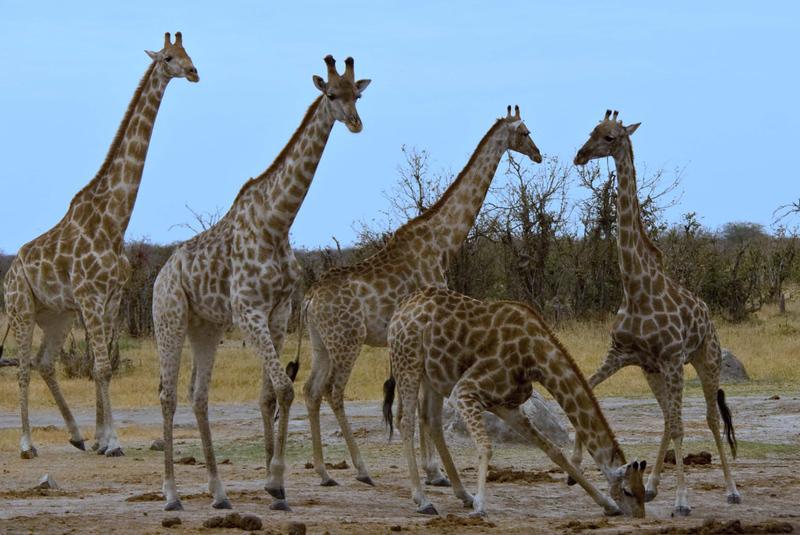 Giraffes_edited-1.jpg
