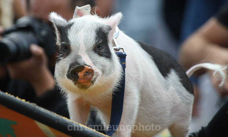 8/5/17: PIckles the Pig at the 2017 World Dog Surfing Championships at Pacifica State Beach in Pacifica, Ca by Chris M. Leung