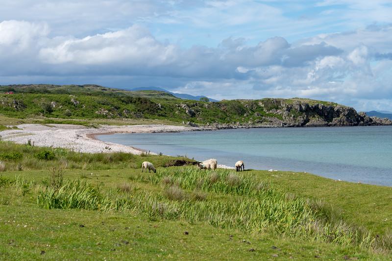 Sheep at the beach at Claggain Bay
