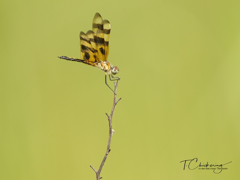 Holloween Pennant Dragonfly Eight-1531688024381.jpg