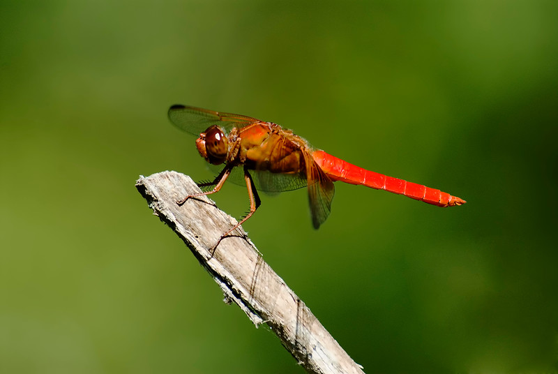 Dragonfly-2.jpg