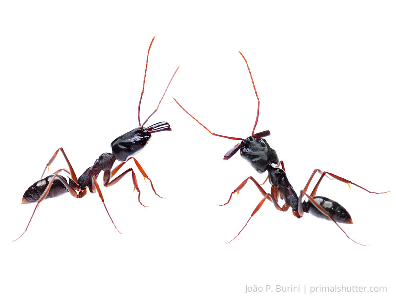 Trap jaw ant (Odontomachus sp.) Sorocaba, SP, Brazil Urban March 2014