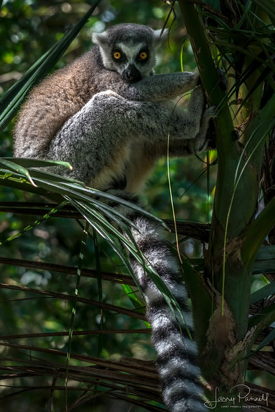 lemur_ring tailed_1.jpg