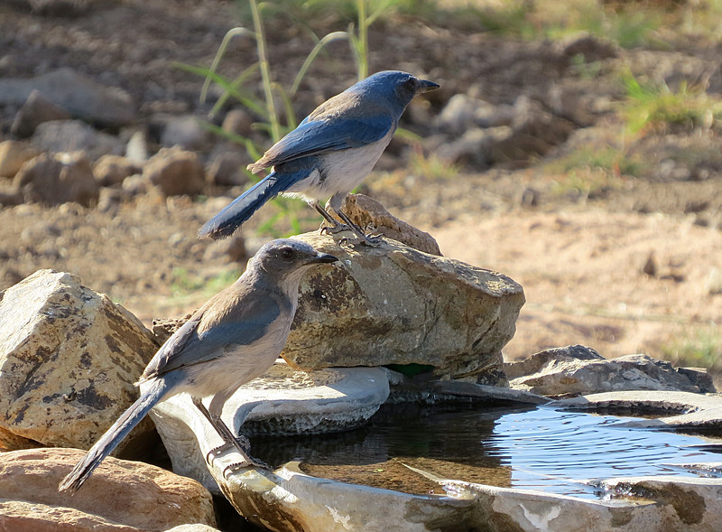 Jay male female birdbath2.jpg
