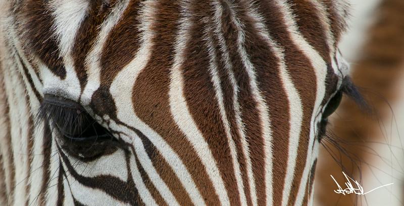 ZebraS-31.jpg