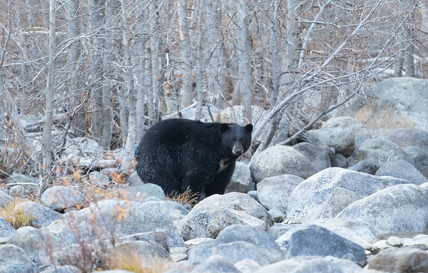Large Black Bear with White Chest Markings