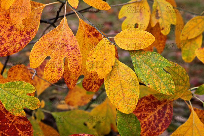 Sassafras Leaves (Sassafras albidum).  Sassafras trees have polymorphic leaves, which means they have three clearly different leaves.  All three leaf types; single leaf, mitten-shaped leaf, or trilobed leaf, are in this photograph.