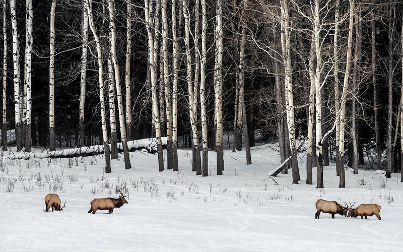 Elk rutting