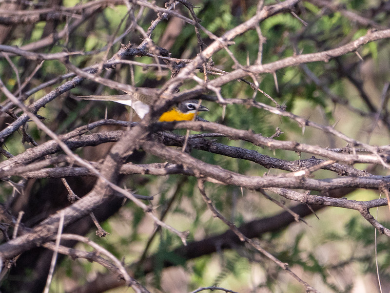 Yellow-breasted Chat San Pedro River southeast Arizona June 6-12 2019-1066700.jpg