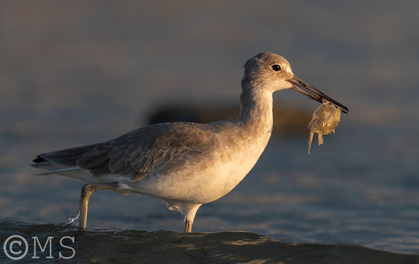 Willet Image Gallery