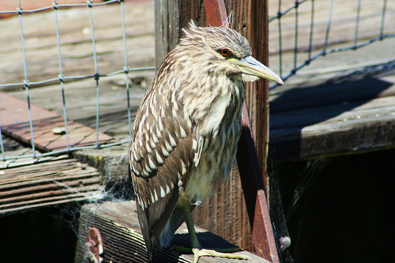 Juvenile Black-crowned Night Heron (3).JPG