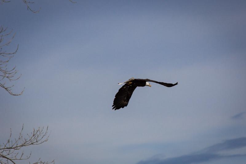 Eagle fly-7294.jpg