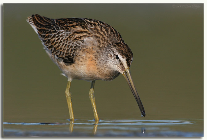 Short billed Dowitcher