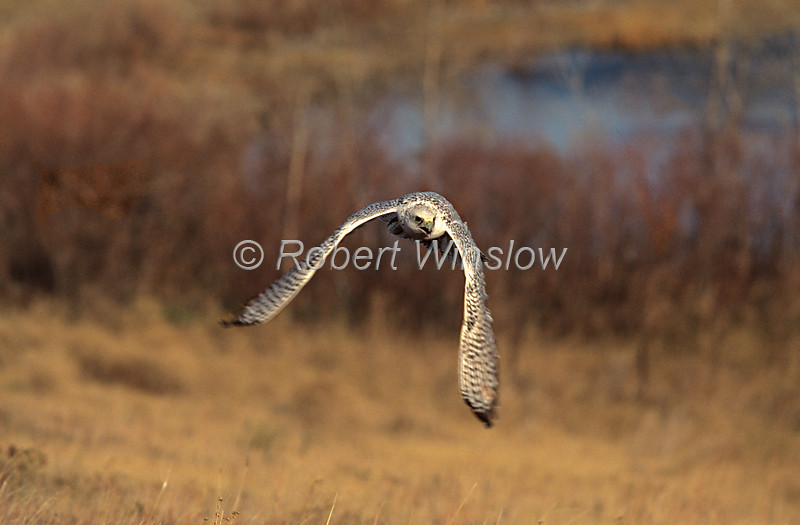 Gyrfalcon, Falco rusticolus, White Adult, Flying, North America, Controlled Conditions