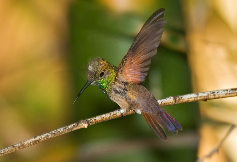 Berylline Hummingbird 2.jpg