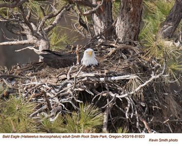 Bald Eagle A81823.jpg