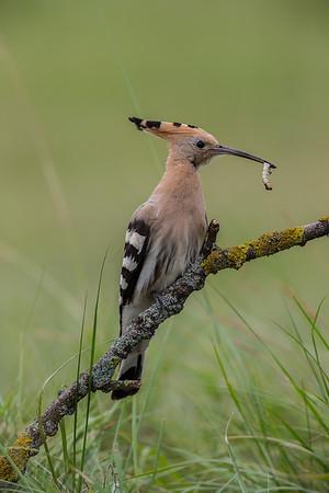Eurasian Hoopoe / Härfågel / Upupa epops