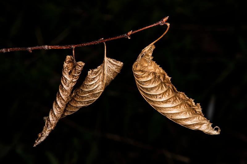 DSC_4966 3 Fall Leaves in Spring PS- +++++.jpg