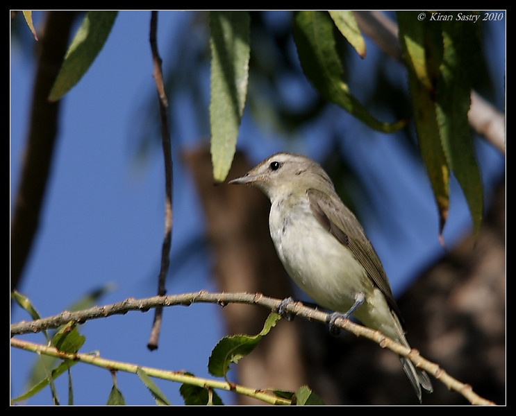 Warbling Vireo, Santee Lakes, San Diego County, California, October 2009