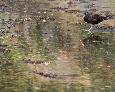 Gulls and Shorebirds