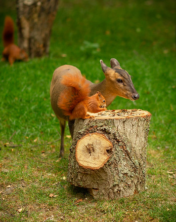 2020 - Red Squirrel 009