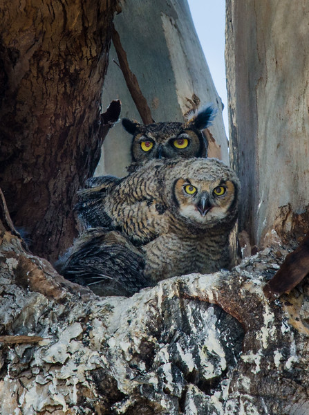 Great Horned Owl adult and fledgling