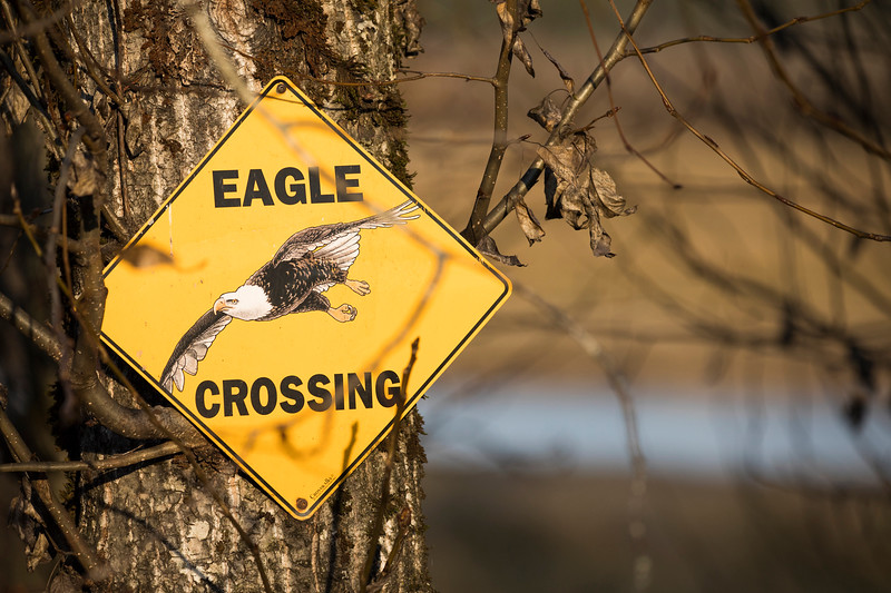 Fraser Valley Eagles - © Christopher Kimmel - No Use Without Permission