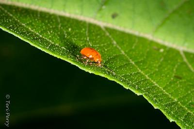INSECT - ladybug-2655