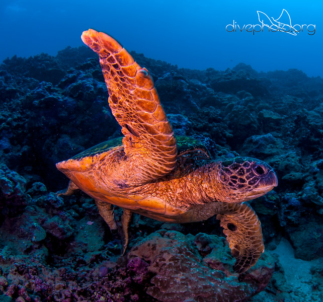 Green sea turtle off Hawaii