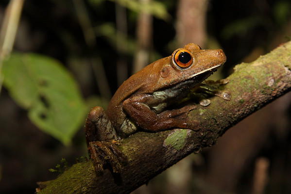 Tree Frogs (Hylidae)